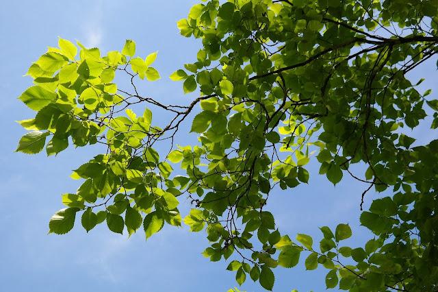 Ramas con hojas de un olmo