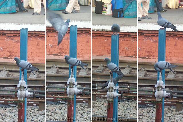 Pigeons of Chandigarh Railway Station