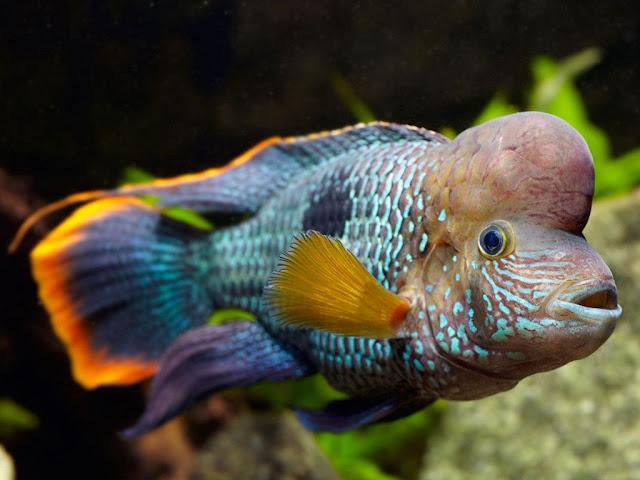 Mengenal Si Cantik Ikan Golsom, Ikan Hias yang Galak