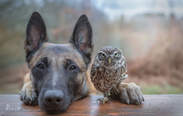 Tiny Owl Adopts Belgian Shepherd, And Now They're The Best Of Friends! [Photos]