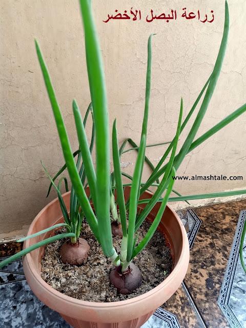 زراعة البصل الأخضر في المنزل