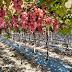 Se inicia cosecha de uvas en Neiba de la variedad Red Globe