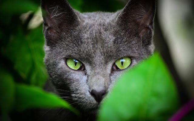 Κόρατ: Η γάτα με τις πέντε καρδιές που φέρνει καλοτυχία
