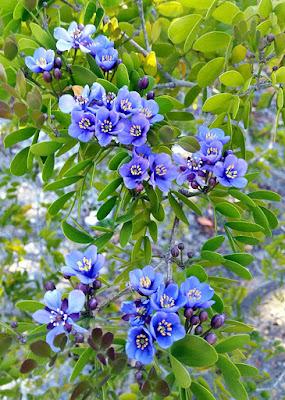 Lignum Vitae Flowers
