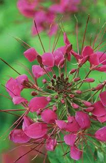 planta cleome spinosa