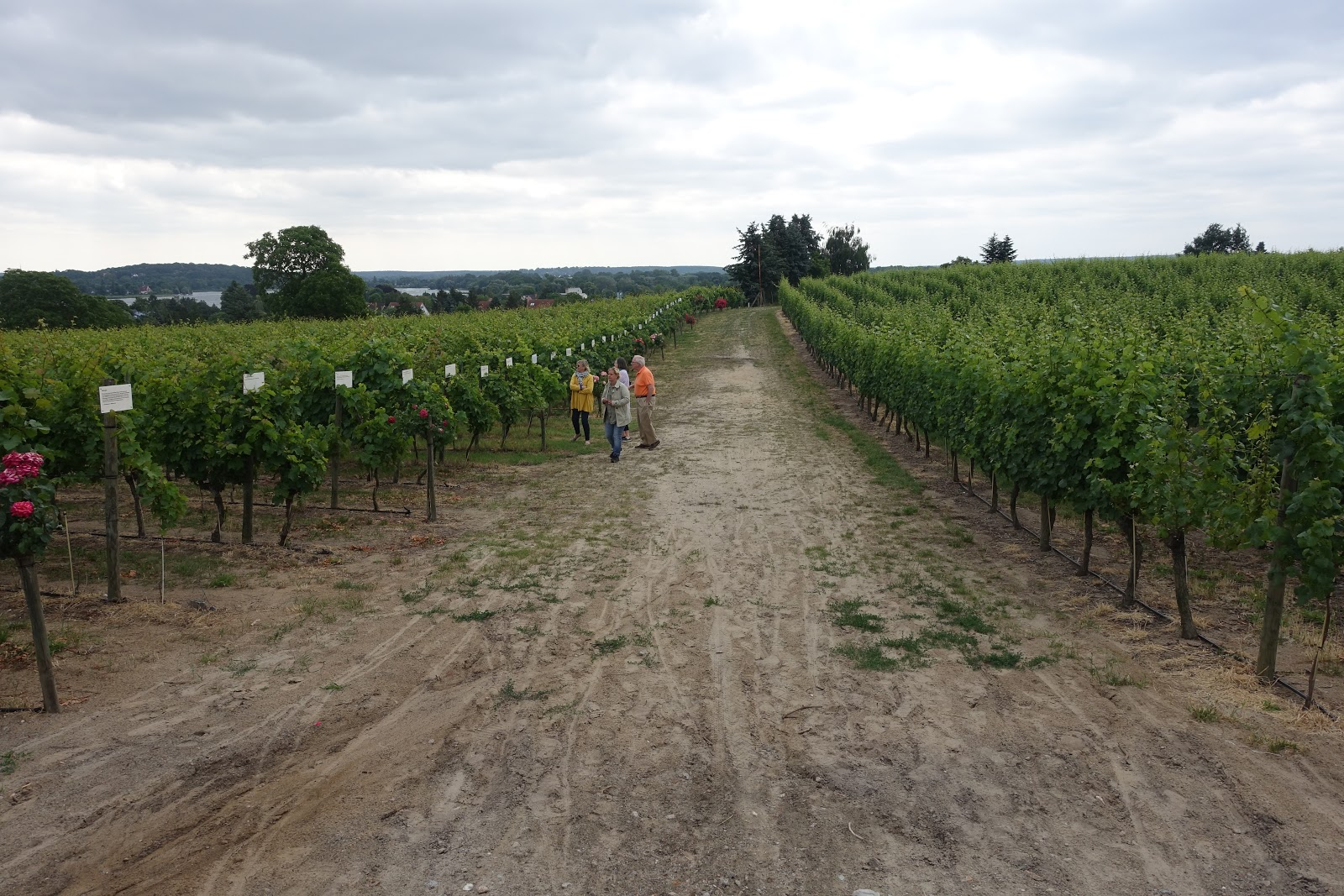 Schiller Wine Vineyard Tour And Tasting At Weingut Dr Lindicke In