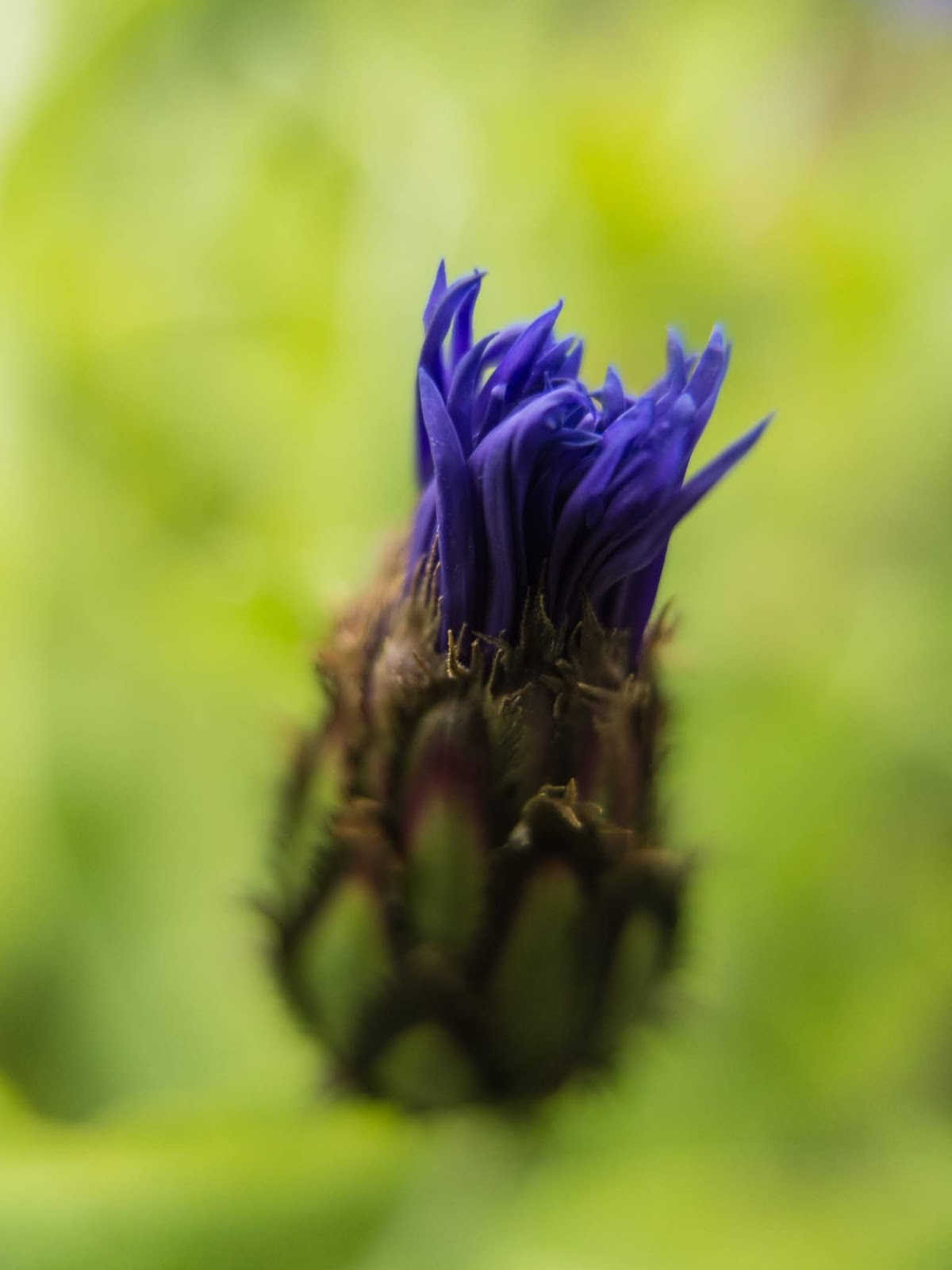 A macro of a purple Bachelor's Button flower bud.