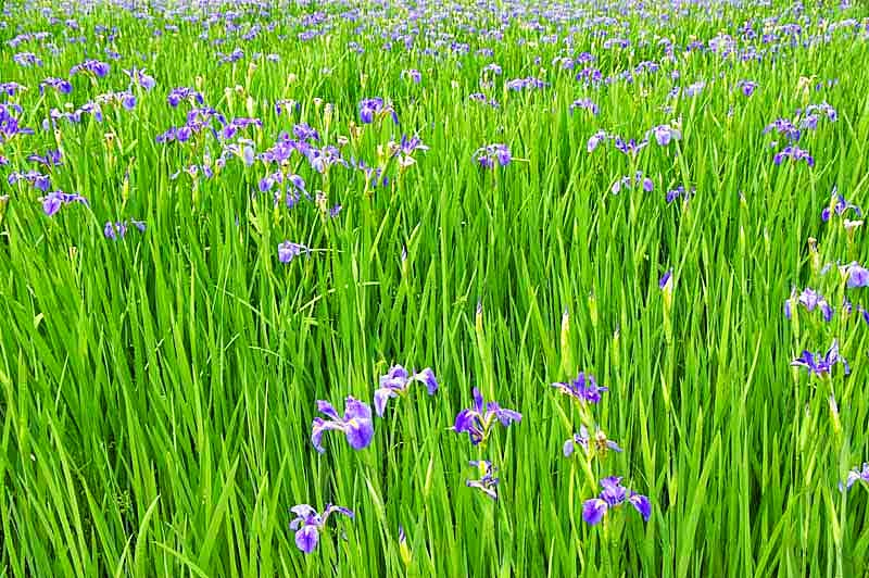 iris fields in bloom