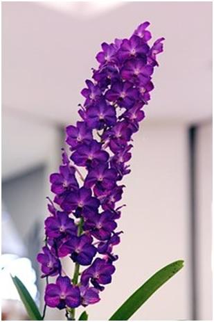 Orquídea vanda ambiente interno