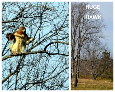 Collage, red-tailed hawk closeup on left, hawk perched high in a tree in a meadow on the right