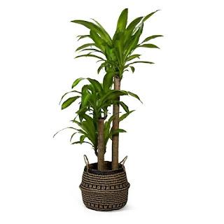 https://www.lowes.com/pd/LiveTrends-3-Gallon-Corn-Plant-in-Planter-L20959hp/1000695790