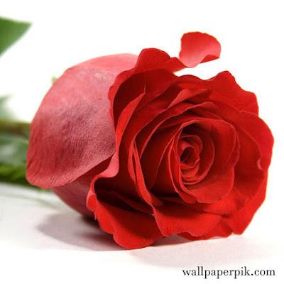 single red rose wallpaperpik