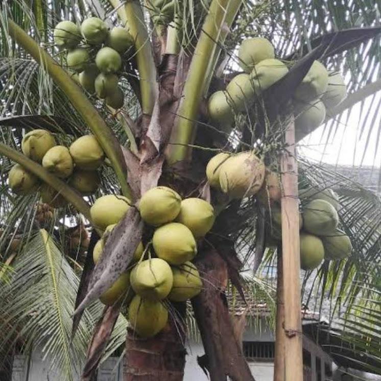 Bibit kelapa genjah Jawa Tengah