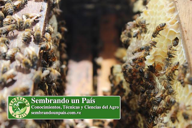abejas en panales
