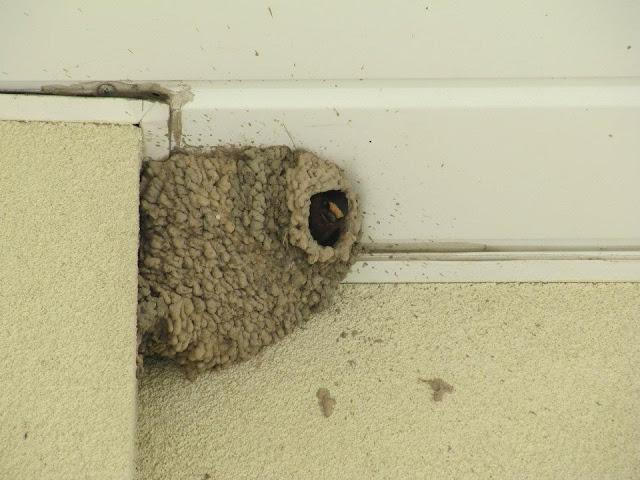 Naturefied: Barn Swallow Nesting