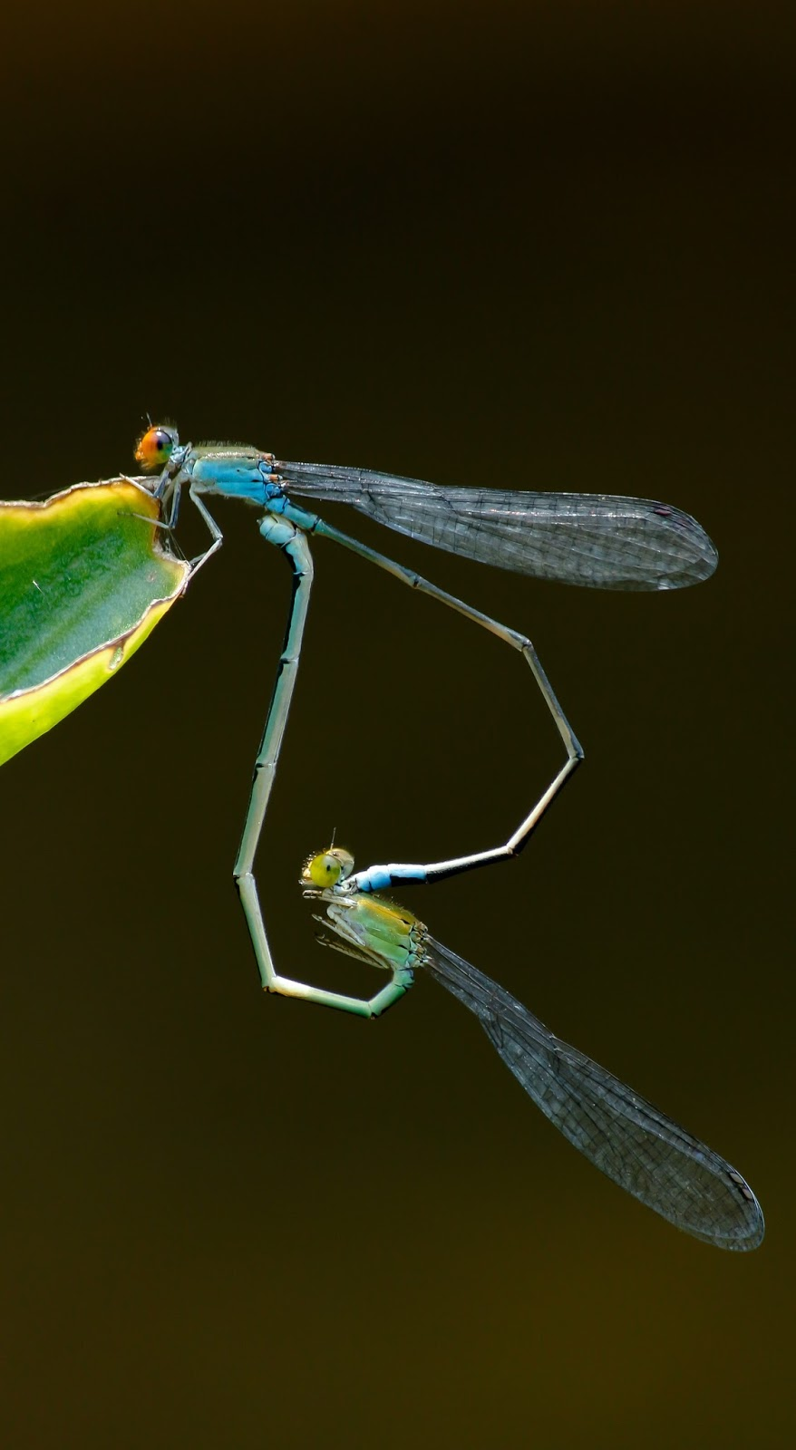 Picture of dragonflies mating.