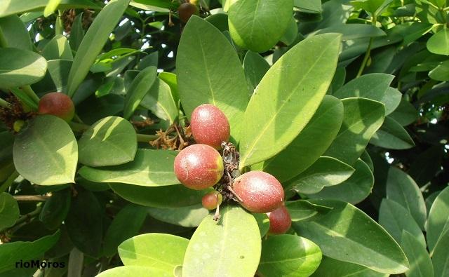 Frutos de LAUREL TÓXICO Acokanthera oblongifolia