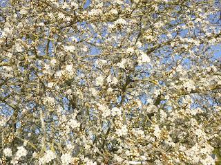 fleur prunier blanc indre et loire nature