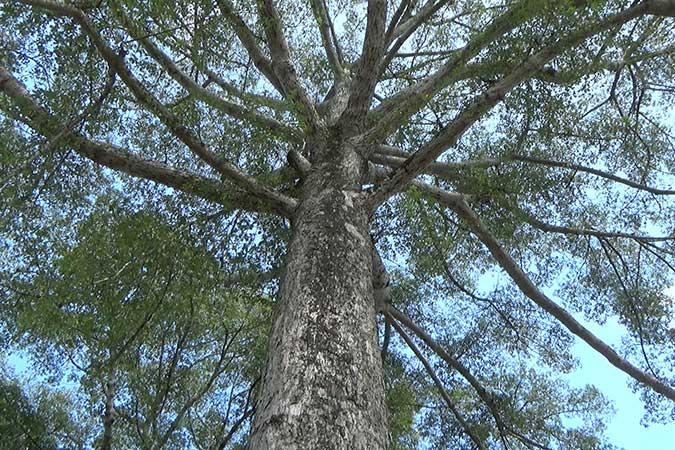 Dlium Red cotton tree (Bombax ceiba)