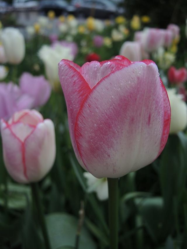 """In mijn tuintje: de magische tulp """"Hugs and Kisses"""""""