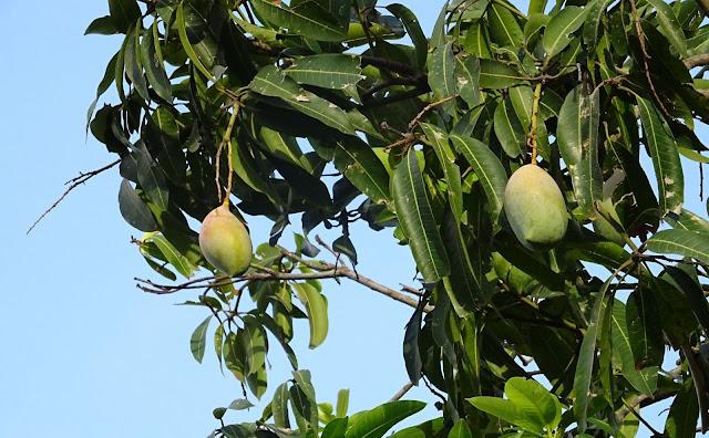 Selain banyak manfaat buah mangga yang bisa Anda dapatkan, mengkonsumsi buah mangga dalam jumlah yang banyak juga akan memberikan efek samping.    Berikut 5 efek samping yang bisa ditimbulkan apabila terlalu banyak mengkonsumsi buah mangga:    1. Iritasi Getah yang merembes dari buah mangga bisa menyebabkan iritasi di tenggorokan anak Anda. Getah yang berwarna kuning ini disebut urushiol. Getah ini apabila terkena langsung pada bagian kulit akan menyebabkan reaksi alergi dermatitis kontak.    Alergi tersebut biasanya berupa ruam pada kulit dan terkadang juga menimbulkan gatal dan rasa agak perih, terlebih jika iritasi pada tenggorokan. Tentu saja hal ini dapat menimbulkan rasa ketidaknyamanan.    Untuk dapat menghilangkan kandungan getah pada kulit buah mangga tanpa harus menghilangkan manfaat buah mangga maka cucilah buah mangga dengan air yang mengalir terlebih dahulu setelah Anda mengupas kulitnya, kemudian makanlah buah mangga tersebut yang sudah bersih dari getah yang dimilikinya.    2. Meningkatkan gula darah Bagi Anda penderita diabetes, Anda harus memperhatikan kadar gula yang Anda konsumsi termasuk di dalamnya saat Anda mengkonsumsi buah mangga. Di dalam buah Mangga mengandung zat yang yang disebut fruktosa yaitu zat yang membuat rasanya manis. Terlalu banyak mengkonsumsi gula ini bisa menyebabkan kenaikan kadar gula di dalam darah serta memicu terjadinya lonjakan insulin yang tidak Anda inginkan.    3. Infeksi salmonella Serat Salmonella Serotipe Newport dilaporkan di AS (Amerika Serikat) selama tahun 1999, dan hasil yang dilaporkan mangga menjadi penyebab utama salmonellasis. 78 pasien dari 13 negara bagian Amerika terinfeksi dengan strain wabah.    2 passien meninggal terdaftar dalam studi kasus tersebut, 15 pasien dirawat di rumah sakit, 14 orang (50 %) melaporkan bahwa mereka mengkonsumsi mangga dalam 5 hari sebelum terkena penyakit.    Hal ini terjadi karena di duga memakan mangga tanpa dicuci terlebih dahulu sehingga mangga tersebut mengandung bakter