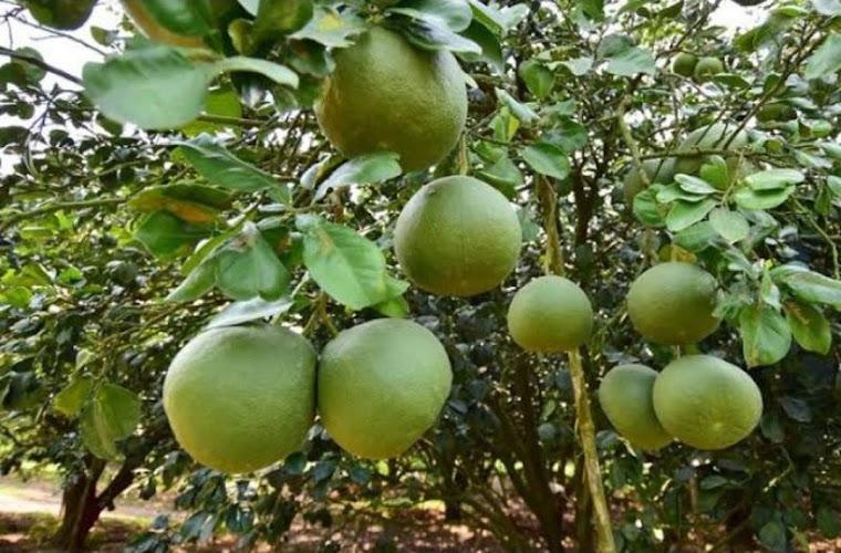 bibit jeruk jumbo pamello madu Jawa Timur
