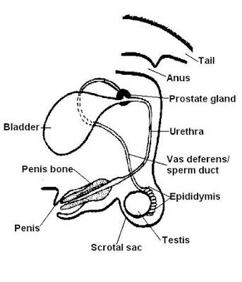 Teknik Operasi Urethrotomy dan Urethrostomy pada Hewan
