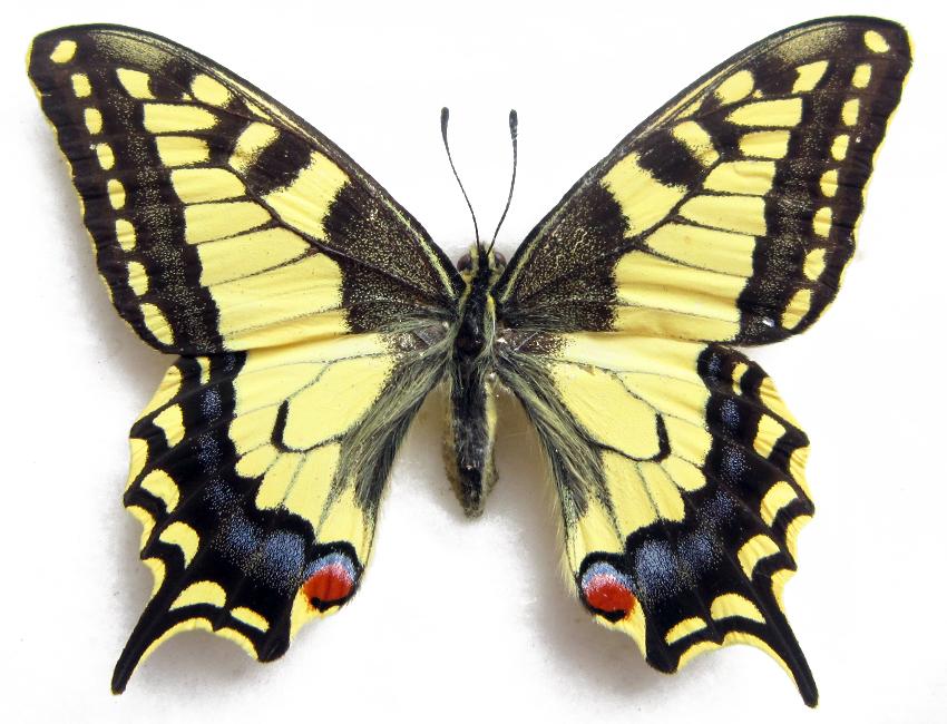 Farfalle: Distinguere Una Farfalla Da Una Falena