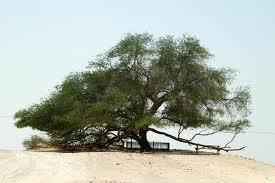 Pohon+Kehidupan+Bahrain - 10 Pohon Terunik di Dunia