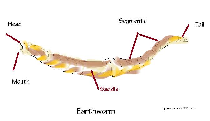 Earthworm Diagram: Vermiponics