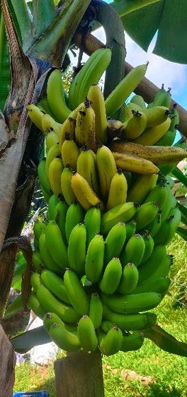 Alhamdulillah .. Hasil Dusun Abi - Menuai Hasil pertama Pisang Cavendish. Buat cenkodok pisang dan Masak Bubur Pisang bersama keledek dan jagung. Sedap manis!