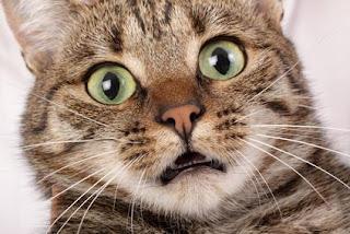 los pepinos asustan a los gatos