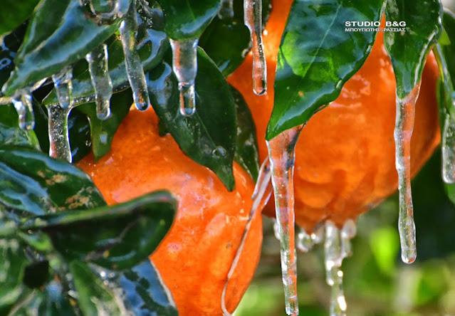 Ζημιές από παγετό στην Αργολίδα: Ποιο είναι το χρονοδιάγραμμα εκτίμησης των ζημιών