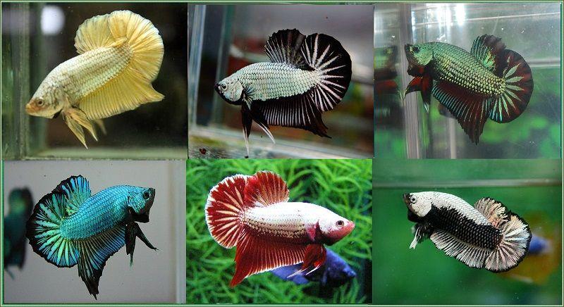 Image Betta Fish Colors 3