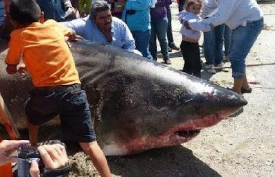 Resultado de imagen para Captura de tiburones en República Dominicana