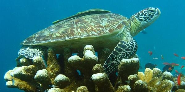 السلحفاة البحرية الخضراء