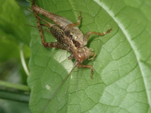Cardiodactylus sp