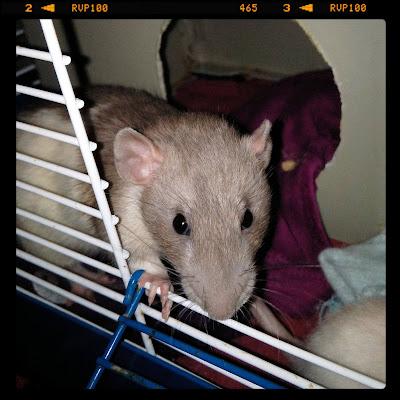 Tunay Na Mahal My Pet Rats Tunay Na Mahal