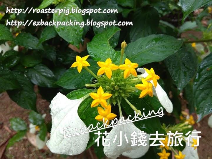 香港玉葉金花
