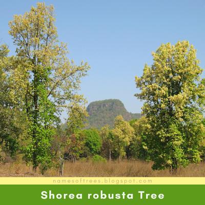 Shorea robusta Tree
