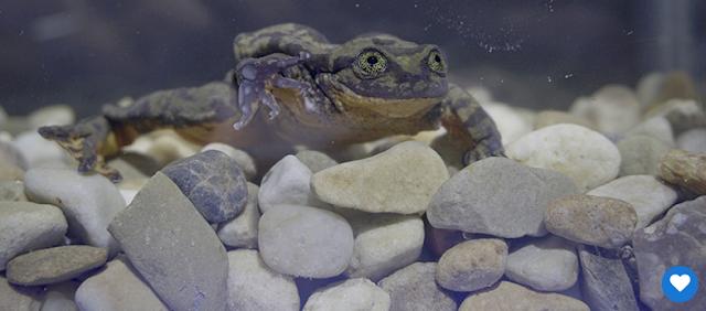 """Зоологи ищут на сайте знакомств пару """"зеленой и сексуальной"""" лягушке"""
