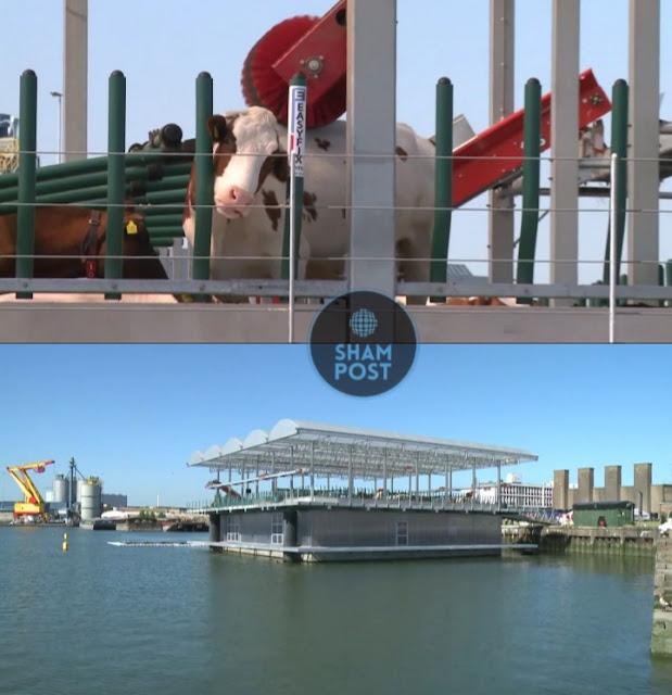 فيديو.. هولندا تقيم أول مزرعة عائمة في العالم لتربية الأبقار في روتردام