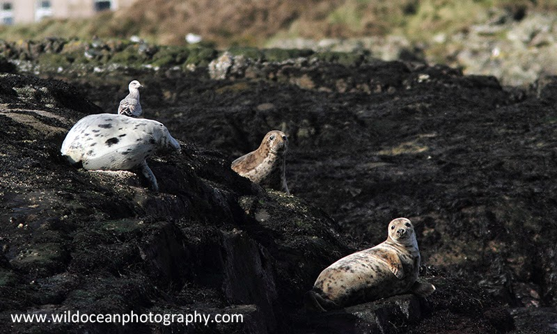 Seals on Cumbrae