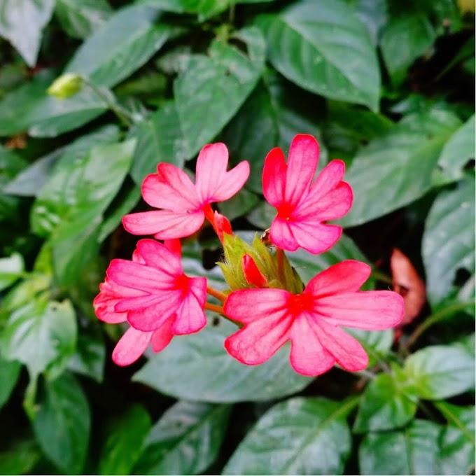 Aboli Pink (200 seeds)