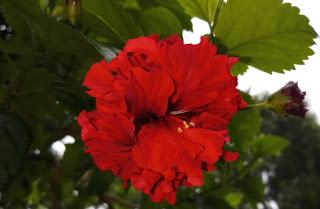 China rose flower