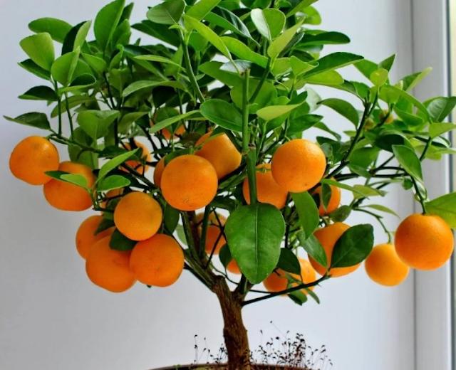 Выращивание комнатного апельсина