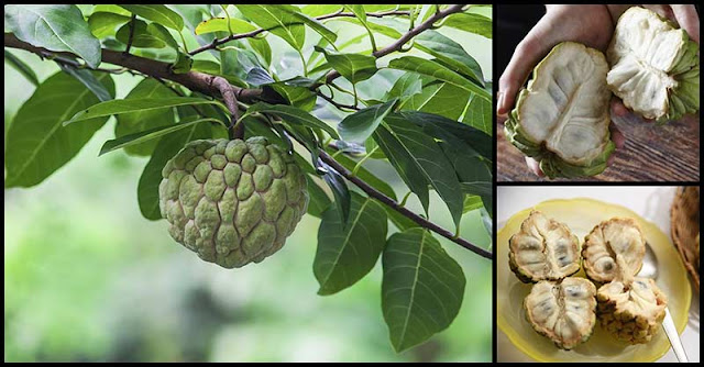 Reasons Why Custard Apple Is Beneficial To Our Health