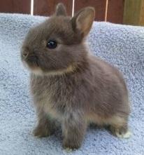 jenis dan karakteristik kelinci berukuran mini