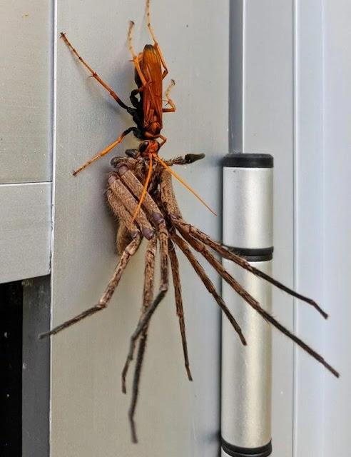 tawon laba-laba