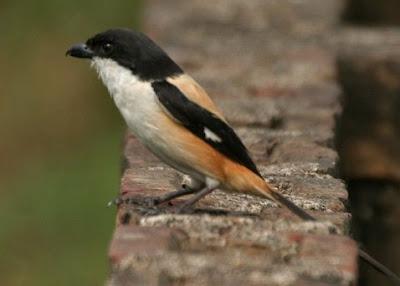 Mengetahui Dekat Lokasi Tempat Sarang Burung Cendet Di Alam Bebas Paling Lengkap